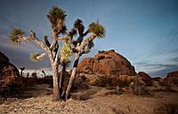 ДЕРЕВО ДЖОШУА (Yucca brevifolia), фото 1