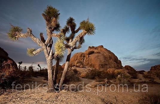 ДЕРЕВО ДЖОШУА (Yucca brevifolia)