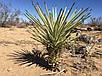 ДЕРЕВО ДЖОШУА (Yucca brevifolia), фото 3