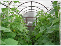 Особенности выращивания огурца в весенних остекленных и пленочных теплицах. Защита растений от вредителей и болезней