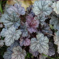Гейхера Колор Дрим (Heuchera Color Dream).