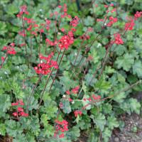 Гейхера Кроваво-красная (Heuchera sanguinea).