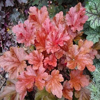 Гейхера Марон Блаш (Heuchera Maroon Blush).