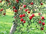7 плодовых культур , необходимых иметь в каждом саду.