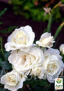 """Роза мелкоцветковая (спрей) """"Белая Лидия"""" (саженец класса АА+) высший сорт - Vesna-Agro в Одессе"""