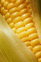 Критично важливі мікроелементи. Частина 3. Кукурудза