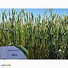 Озимая пшеница Зира
