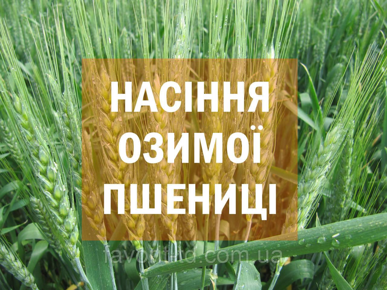 Cемена озимой пшеницы Saaten-Union Скаген