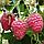 Саженцы малины сорт Ляшка, фото 2