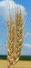 Семена озимой пшеницы Вдала (элита)