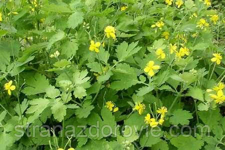 Актофуд, трава чистотела