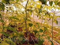 Осенне-зимняя культура томата