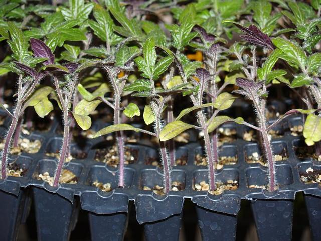 Выращивание томата в парниках. Выращивание томата под пленочными укрытиями.