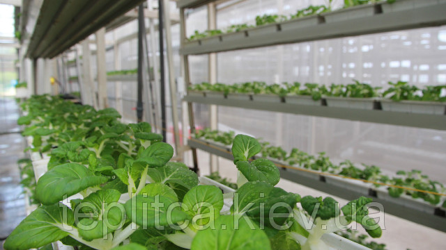 Выращивание салата и пекинской капусты
