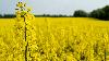 Семена рапса «ОНТАРИО», гибрид (Под Раундап)
