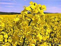 Семена рапса «ЭСТЕР» гибрид (Под Раундап)