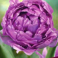 Полные поздние, полные ранние тюльпаны