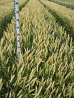 Семена озимой пшеницы Нива Одесская элита