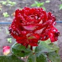 Роза чайно-гибридная Динамит