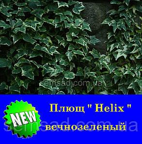 Плющ садовый вечнозеленый Голден Ингот \ Hedera Helix  Golden Ingot  ( саженцы ), фото 2