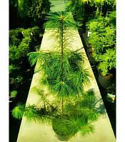 Pinus strobus Сосна Веймутова,100-120см,C7.5-конт. 7.5л