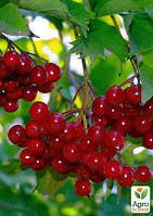 Калина, плоды 100г