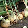 Семена лука Балстар F1 0,5 кг. Семинис.