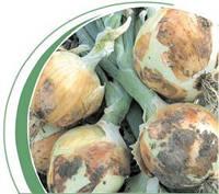 Семена лука озимого Пантер F1 250 000 сем. Никерсон-Цваан