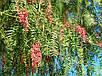 Перец Розовый или Перуанский семена, фото 2