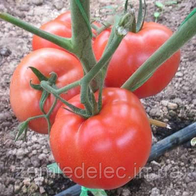 Корвіна Ф1 500 сем. томат Семенис