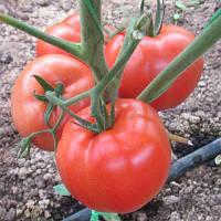 Семена томата Корвинус F1 500 сем. Семенис