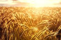 Зерновые нового урожая