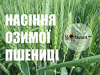 """Семена озимой пшеницы """"Бория"""""""