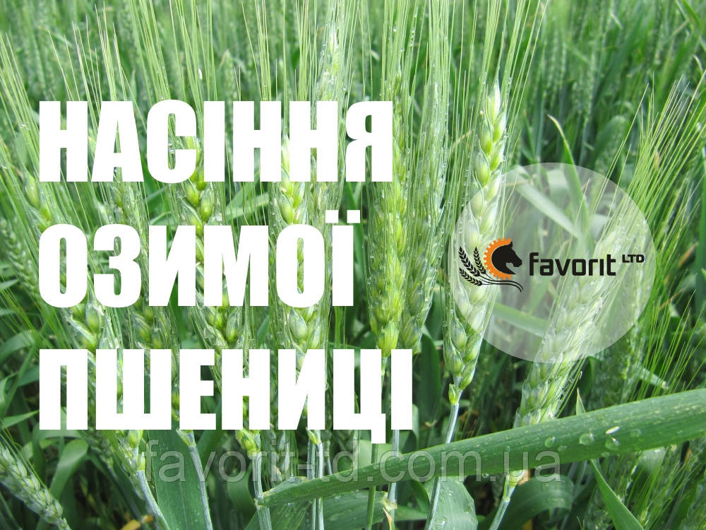 """Семена озимой пшеницы """"ЧОРНЯВА"""""""