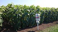 Семена гибрида подсолнечника НС-Х-2652 СУМО стандарт (Гранстароустойчивый)