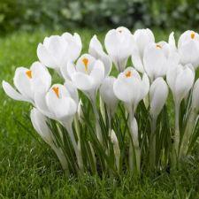 """Крокус Крупноцветковый """"Jeanne d 'Ark"""" белый"""