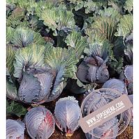 Seminis Рокси F1 (Roxy) семена капусты краснокочанной Seminis, оригинальная упаковка (2500 семян)