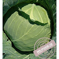 Seminis Дидон F1 (Didone) семена капусты белокочанной Seminis, оригинальная упаковка (2500 семян)