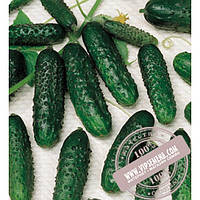 Seminis Masha F1 (Маша) семена огурца-корнишона партенокарпического Seminis, оригинальная упаковка (250 семян)
