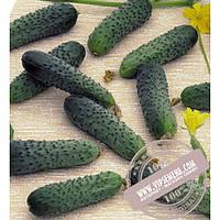 Seminis Merengue F1 (Меренга) семена огурца-корнишона партенокарпического Seminis, оригинальная упаковка (250 семян)