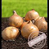 Hazera Скапино F1 (Skapino F1) купить семена лука репчатого Hazera, оригинальная упаковка (250000 семян)