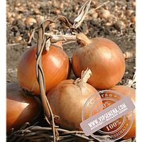 Hazera Тареско F1 (Taresko F1) семена лука репчатого Hazera, оригинальная упаковка (250000 семян)