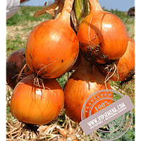 Hazera Меранто F1 (Meranto F1) семена лука репчатого Hazera, оригинальная упаковка (250000 семян)