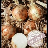 Hazera Вольф F1 (Volf F1) купить семена лука озимого Hazera, оригинальная упаковка (5000 семян)