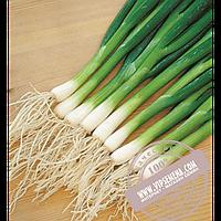 Hazera Савел (Savel) семена лука на перо Hazera, оригинальная упаковка (50000 семян)