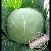 Hazera Магнус F1 (Magnus F1) семена капусты белокочанной Hazera, оригинальная упаковка (2500 семян, калиброванные)