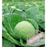 Rijk Zwaan Лема F1 (Lema F1) семена капусты белокочанной Rijk Zwaan, оригинальная упаковка (2500 семян)