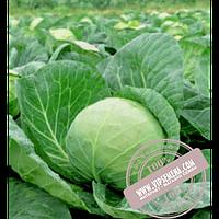 Rijk Zwaan Лема F1 (Lema F1) семена капусты белокочанной Rijk Zwaan, оригинальная упаковка (2500 семян, калиброванные)