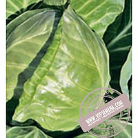 Rijk Zwaan Рейма F1 (Rayma F1) семена капусты белокочанной Rijk Zwaan, оригинальная упаковка (2500 семян, калиброванные)