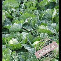 Rijk Zwaan Пушма F1 (Pushma F1) семена капусты белокочанной Rijk Zwaan, оригинальная упаковка (2500 семян)